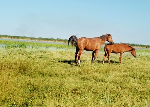 Photo of horse and little foal grazing in the steppe