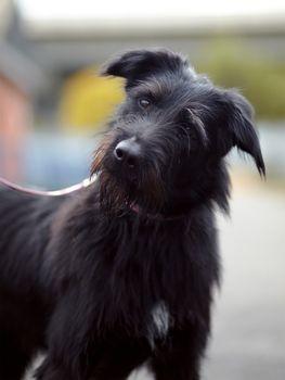 Portrait of a black not purebred dog.