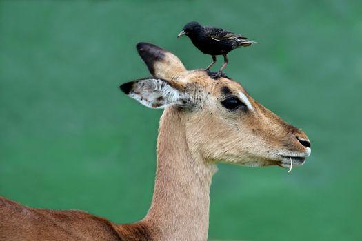 Impala Antelope with Bird on Head