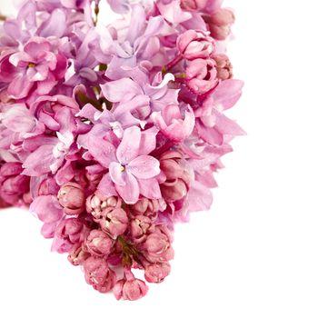 Lilac branch.