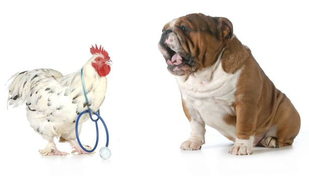 veterinary care - chicken doctor taking care of an upset english bulldog patient