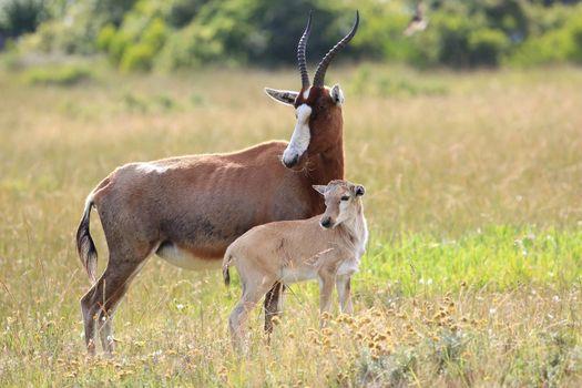 Blesbok Antelope and Calf