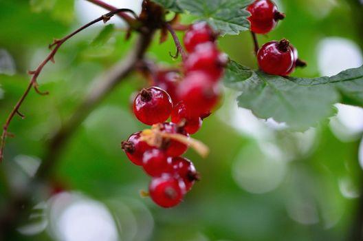 ripe redcurrant berries