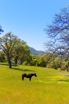 Dark horse in California meadows grasslands