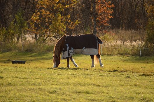 A single grazing horse