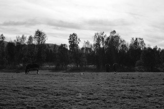 Monochrome photo of Beautiful horses grazing in the late autumn sun