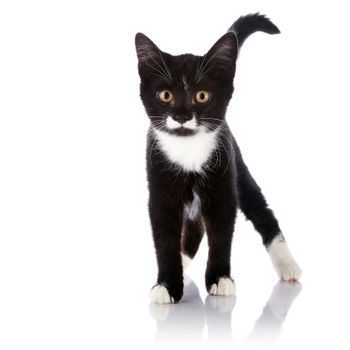 The black and white kitten costs