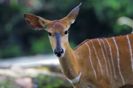African Antelopes in the South African wilderness