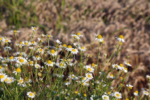chamomile and bee spring season