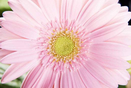 Close up on fresh pink gerbera flower with green leaves.
