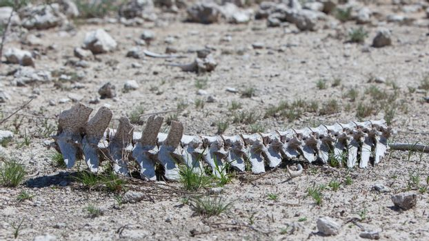 Spine of a wild beast lying on the ground in Etosha national par