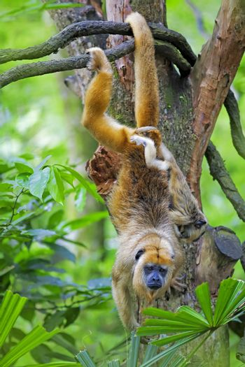 Mantled Howler Monkey with child hanging from a tree