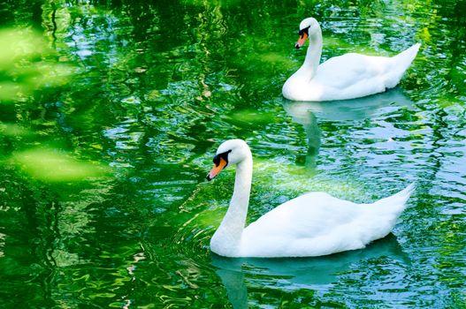 Couple of swan