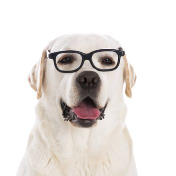 Portrait of a beautiful labrador retriever wearing glasses
