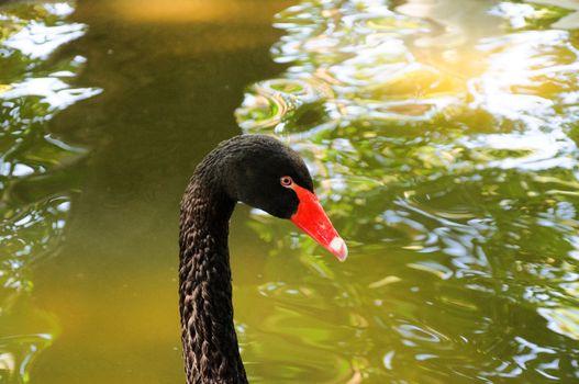 Black swan head