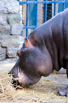 Hippo eating