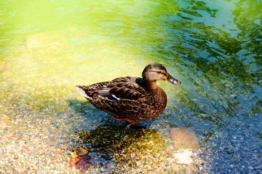 Walking duck