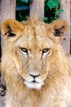 Grumpy lion