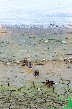 Ducks on the coast