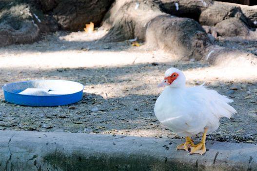 Red eye duck