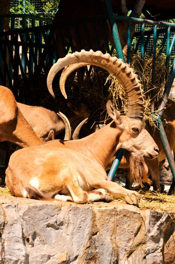 Male of wild goat