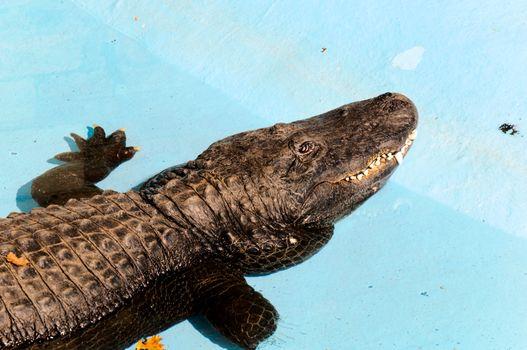 Sleepy crocodile