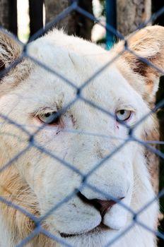 Locked and sad lion