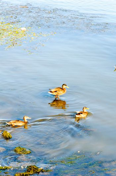 Ducks day