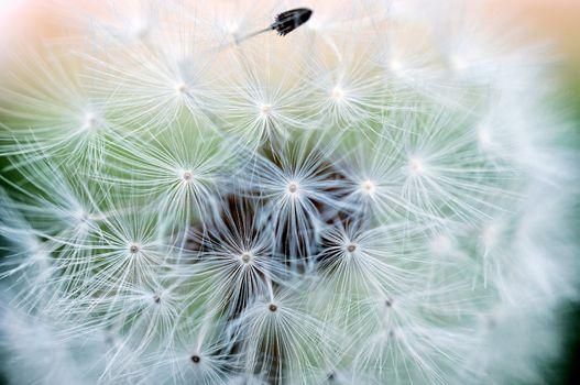 Macro dandelion