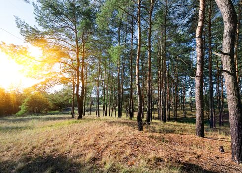 Autumn in a pine forest