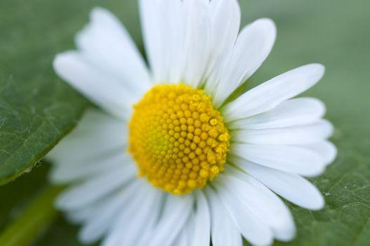 Pollen of chamomile