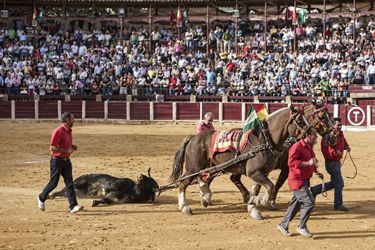 Drag mules are Bull died in the Bullfight to the slaughterhouse of the bullring of Ubeda, Jaen province, Spain
