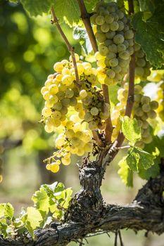 Grapevin Tuscany