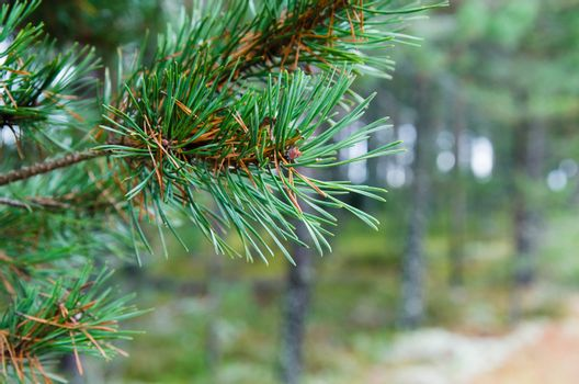 Branch of a pine, close up