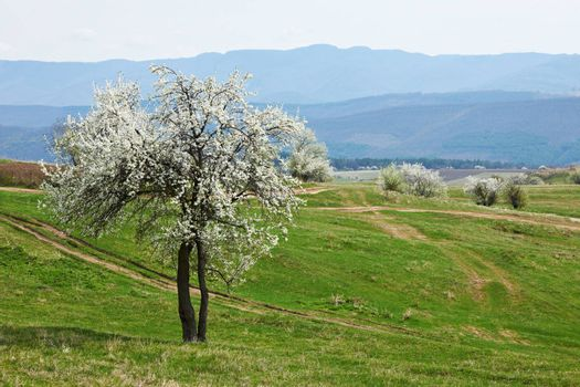 Blossom tree on green spring field and some mountains in the background