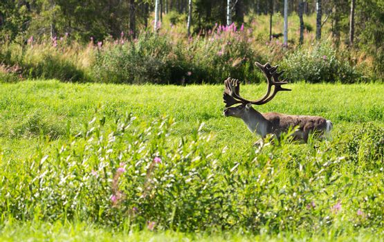 deer with antlers on a background of green grass