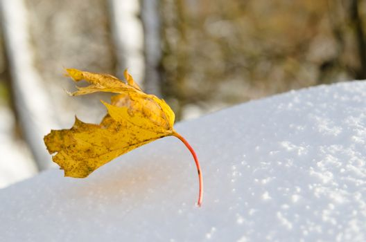 Yellow maple leaf on snow, close-up