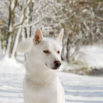 Portrait of an husky dog in Winter, Close-up