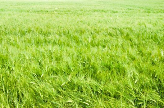 young wheat on farm land