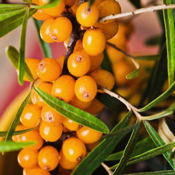 Buckthorn branch with berries, close-up