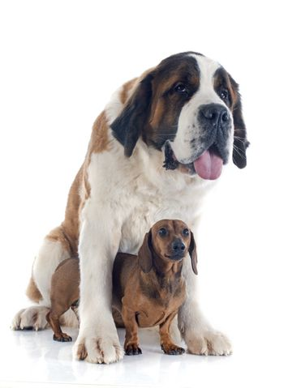 Saint Bernard and dachshund dog