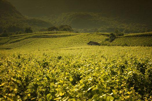 Beautiful vineyard landscape in Provence