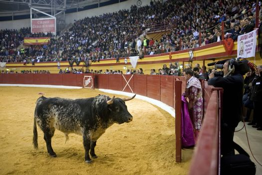 Brave bull opposite to the refuge in a live televised bullfight