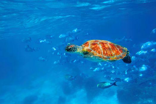 Hawksbill Sea Turtle in blue ocean at Similan Islands