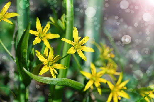Gagea is spring flowers, grows in damp deciduous woodland.