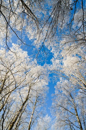 Bottom view of the snow covered Birch trees on blue sky background