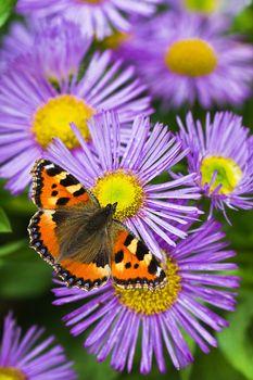 Tortoisesehell butterfly on Aster flowers