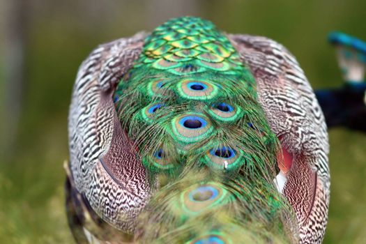 abstract view of a peacock, detail of the tail feathers
