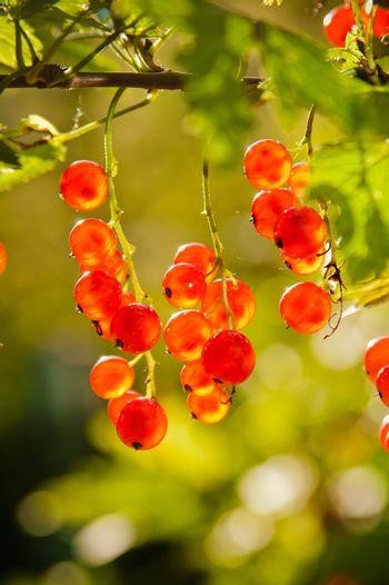 The berries of a red currant shined by solar beams