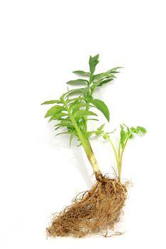 Seedling of valerian